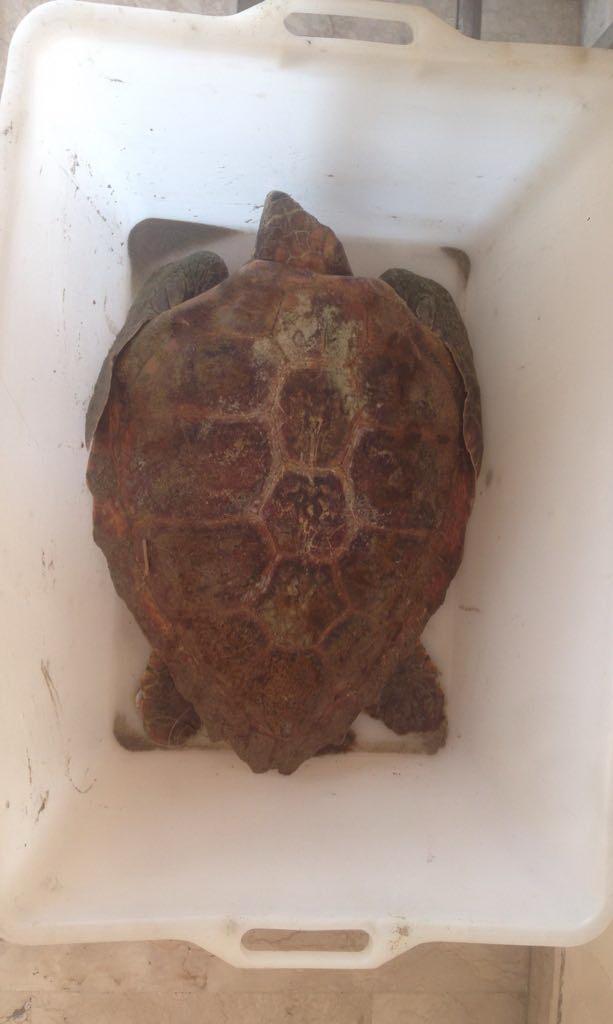 """Carlentini, Gli uomini della Capitaneria di Porto Guardia Costiera di Augusta hanno recuperato una tartaruga marina della specie """"caretta-caretta"""""""