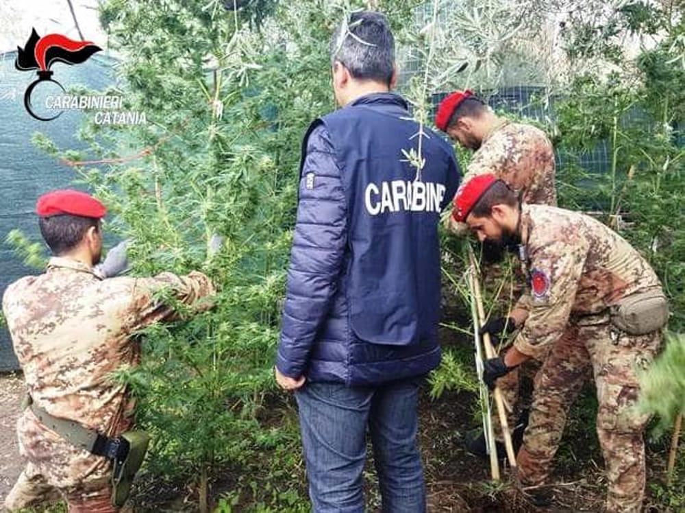 LENTINI, Scoperta una piantagione di marijuana in un terreno abbandonato: un arresto. In azione Lo Squadrone Eliportato dei Cacciatori
