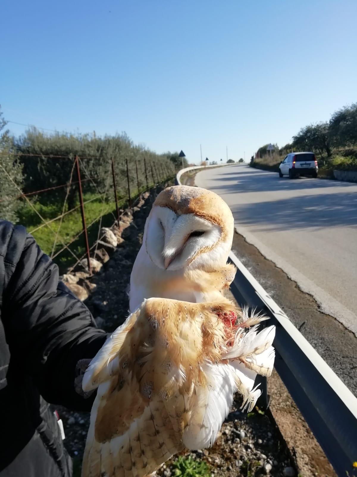 Carlentini, la Polizia Municipale salva un Barbagianni
