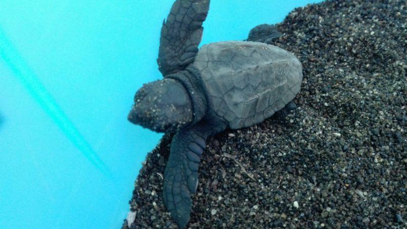 """Linosa, nate altre 23 tartarughe. Il sindaco Martello: """"un miracolo che si ripete, ringrazio il personale dell'amministrazione e dell'Area Marina Protetta"""""""