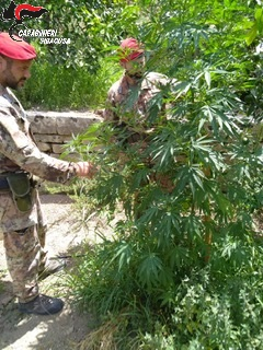 Lentini, i carabinieri sequestrano una piantagione